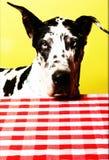 Cão de great dane foto de stock royalty free