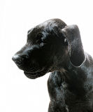 Great Dane Profile Stock Photos