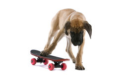 Great Dane pup on skateboard. Close up of Great Dane puppy standing on skateboard, isolated on white background Royalty Free Stock Image