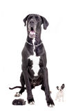 Great Dane with puppies Stock Photo