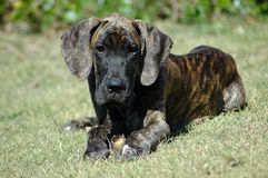 Great Dane puppy. A beautiful brindle Great Dane puppy with cute expression in the face lying in the grass and watching other dogs in the park outdoors Stock Images