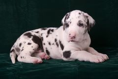 Great Dane Puppy Royalty Free Stock Image