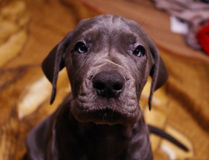 Free Great Dane Puppy Royalty Free Stock Images - 48024629