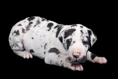 Great Dane puppy Stock Photography