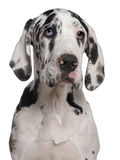 Great Dane puppy, 6 months old Stock Image