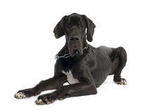 Great Dane puppy (7 months old) Royalty Free Stock Photo