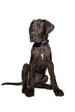 Great dane puppy Stock Photos