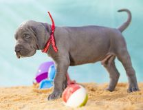 Sarcastic look. Great Dane puppy that apparently does not think it can take the beach home Stock Photo