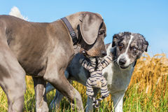 Great dane puppy and australian shepherd playing outdoors Stock Photo
