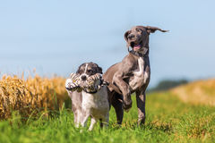Great dane puppy and australian shepherd playing outdoors Stock Photography