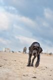 Great Dane puppy on the beach Stock Photography
