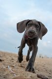 Great Dane puppy on the beach Royalty Free Stock Image