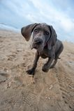 Great Dane puppy on the beach Royalty Free Stock Images