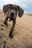 Great Dane puppy on the beach. Beautiful Great Dane puppy on the beach Stock Image