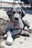 Great Dane Puppy at the Beach Stock Image