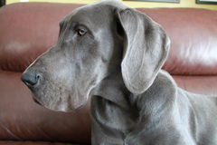 Great dane puppy. A blue great dane puppy on the furniture Royalty Free Stock Photo