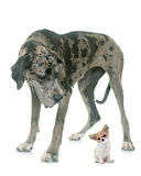 Great Dane and puppy chihuahua in studio Royalty Free Stock Photography