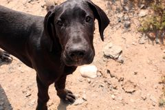 Great Dane Puppy. Close up of a cute adorable black great dane puppy on a rocky dirt background on a farm in the Karoo, South Africa royalty free stock photography