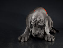 Great Dane puppy hanging its head Royalty Free Stock Photo