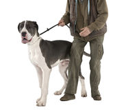 Great Dane puppy on a leash (6 months old) Royalty Free Stock Image
