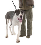 Great Dane puppy on a leash (6 months old) Stock Photos