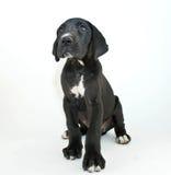 Great Dane Puppy Stock Photo
