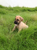 Great dane puppy lying on the grass. Great dane puppy lying on the green grass Royalty Free Stock Photography