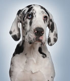 Great Dane puppy, 6 months old, in front of blue Royalty Free Stock Photography
