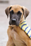 Great dane puppy portrait Royalty Free Stock Photos
