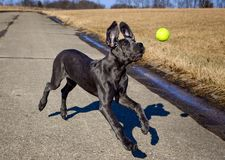 A great Dane puppy reaches for a tennis ball. A great Dane puppy intently focused on a tennis ball in mid air with its ears flapping behind it Royalty Free Stock Images