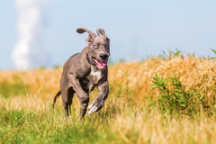 Great dane puppy running on a country path. Cute great dane puppy is running on a country path stock photos