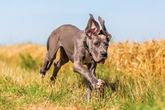 Great dane puppy running on a country path royalty free stock photo