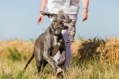 Great dane puppy runs on a country path Royalty Free Stock Image