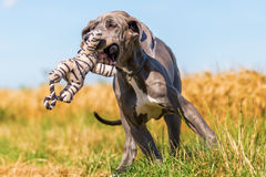 Great dane puppy runs on a country path Royalty Free Stock Photography