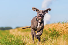 Great Dane Puppy Runs On A Country Path Royalty Free Stock Photo