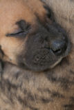 Great Dane puppy sleeping. Royalty Free Stock Images