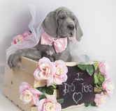 Great Dane puppy on wedding day stock images