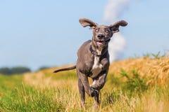 Great dane-puppylooppas op een weg van het land royalty-vrije stock foto