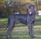 Great Dane Stock Photos