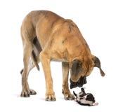 Great dane que mira un perrito barbudo del collie que rueda encima Fotos de archivo libres de regalías