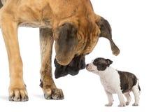 Great dane que olha um filhote de cachorro americano de Staffordshire Imagens de Stock Royalty Free