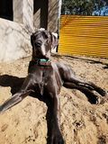 Great Dane. Dog stock photo