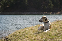 Great Dane Relaxing at Lake Stock Images