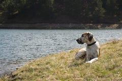 Great Dane Relaxing at Lake. Fawnequin Great Dane relaxing at shore of lake in the Black Hills of South Dakota Stock Images