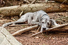 Great Dane Resting. A great dane rests on the forest floor of a spring hike Stock Image