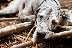 Great Dane resting Stock Photo