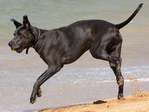 Great Dane Romp. A male Great Dane with a ball between its fangs romping on a sandy beach.  Great Danes are German-bred dogs dating back to when Germans were Stock Photography