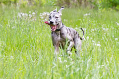Great Dane Running. A Great Dane running through a field of grass Royalty Free Stock Images