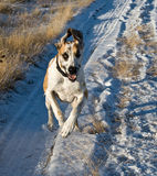 Great Dane Running on Snow-Covered Path. Fawnequin Great Dane running towards the camera on a snow-covered path Stock Images