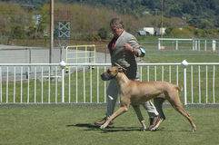 Great dane on show stock images